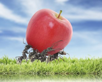 Ants carrying the apple