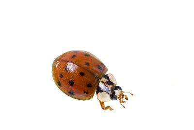 Asian Lady Beetle Exterminators in Illinois