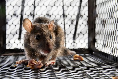 Diseases Carried by Mice in Illinois