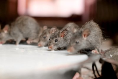 Household Rodent Infestation in Illinois