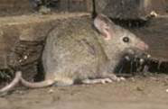 Rodent Removal Services in Illinois