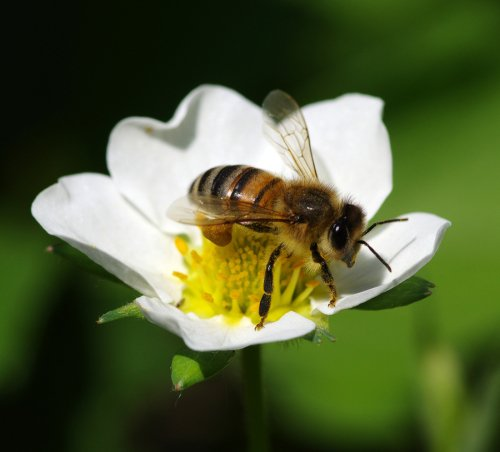 Common Types of Bees in Illinois