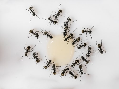 Getting Rid of Pavement Ants in Crystal Lake, IL