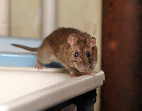 Protecting Your Home from Rodents in Illinois