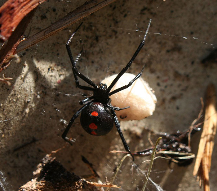 Sac Spiders in Illinois