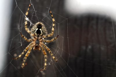 Facts About Brown Recluse Spiders in Illinois