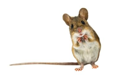 Simple Mouse Prevention Tips by Schopen Pest Solutions