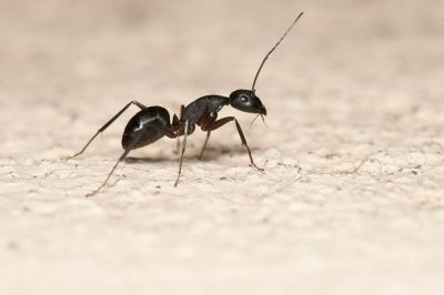 Threat from Carpenter Ants in Illinois