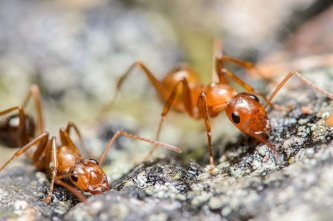 Ant Extermination by Schopen Pest Solutions