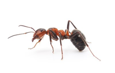 Ant Infestation in Crystal Lake, IL