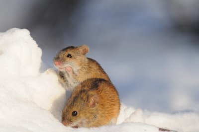 Mice Infestation in Crystal Lake, IL