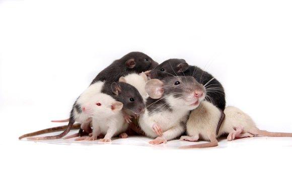 Rat Identification by Schopen Pest Solutions